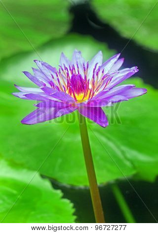 An isolated Purple Water Lily