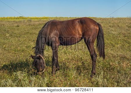 Brown Horse Is Eating Some Grass