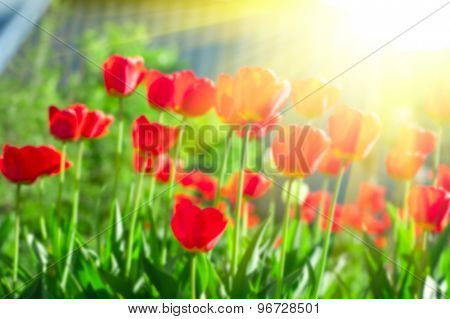 Blurred background of red colored tulips with starburst sun