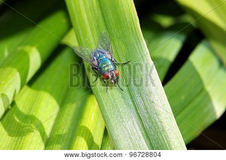 Bluebottle on a leaf