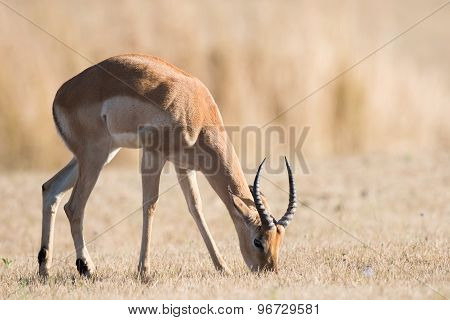 A Young Male Impala (aepyceros Melampus) Grazing In Dried Grass