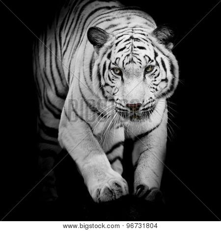 White Tiger Jumping Isolated On Black Background