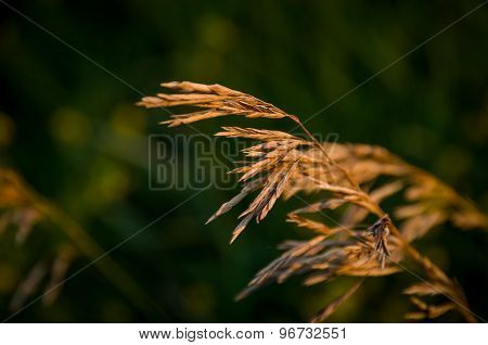 Stalks Of A Dry Grass
