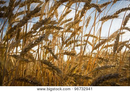 Ripe Gold Wheat