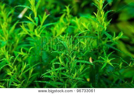 Good Green Tarragon