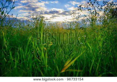 Field Grass With Field Daisies