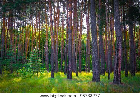 The Beautiful Pine Forest