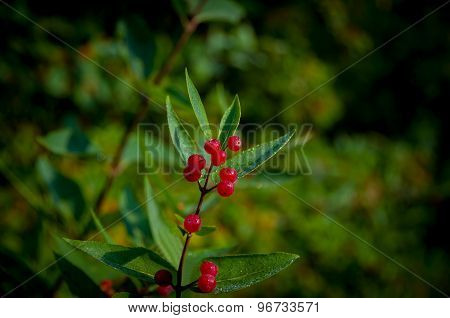 Red Berries On A Green Bush Coffee