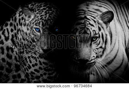 Black & White Leopard With Blue Eyes & Tiger Isolate Black Background