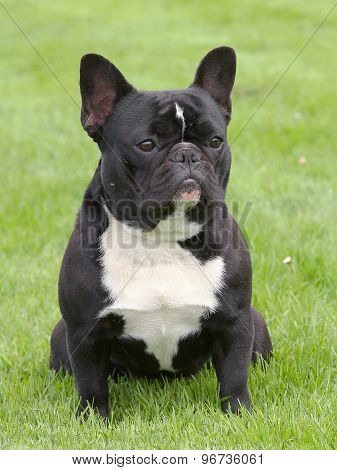 The Portrait Of French Bulldog On A Green Grass Lawn