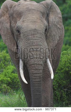 Elephant Bull3