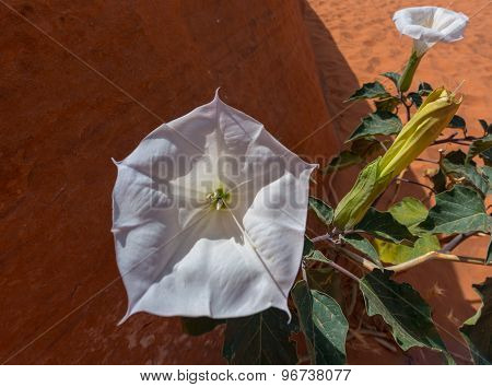 Secred Datura Flower Close-up