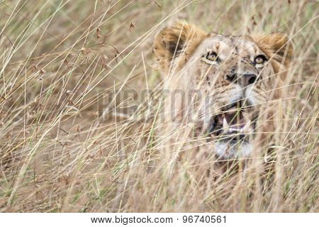 East African Lion Resting In Long Grass