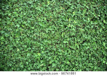 Green leaf background wall, ivy