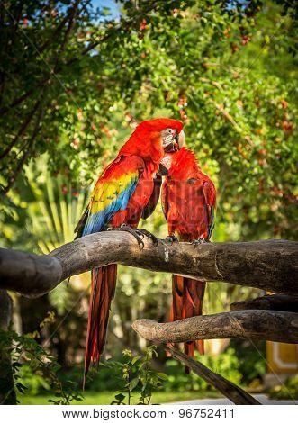 Scarlet Macaw Parrots