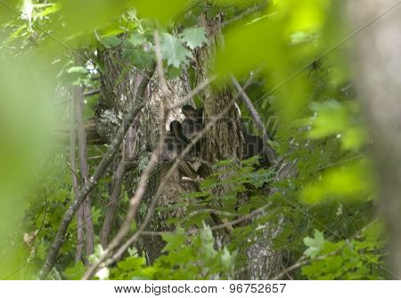 Two Black Bear Cubs Napping In Tree