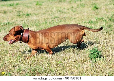 Dog breed standard smooth-haired dachshund.