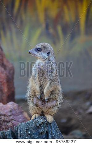 Meerkat Standing On A Rock