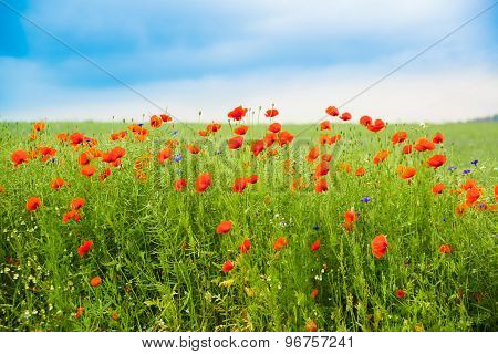 Flower Meadow With Poppies And Cornflowers