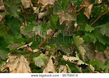 Dry grape leaves background