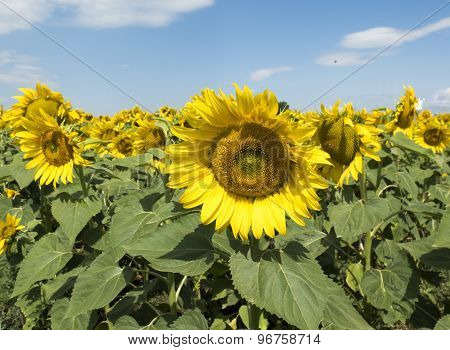 Big Flower Of A Sunflower On A Background Of A Field Of Yellow Flowers