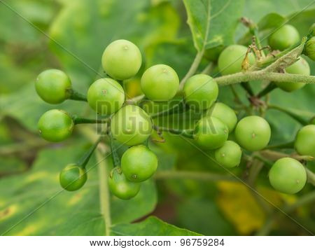 Group Small Vegetable Of Solanum Torvum On The Tree.