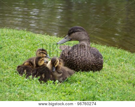 Watchful Mother Duck and Ducklings