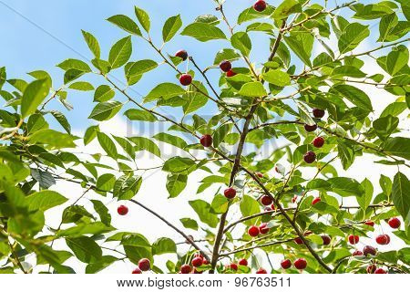 Blue Sky And Red Cherry On Tree