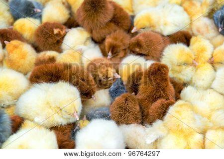 Closeup Of Chicks