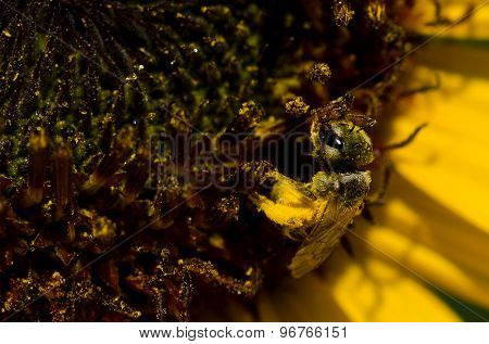 Bee Gathering Golden Pollen From A Yellow Sunflower