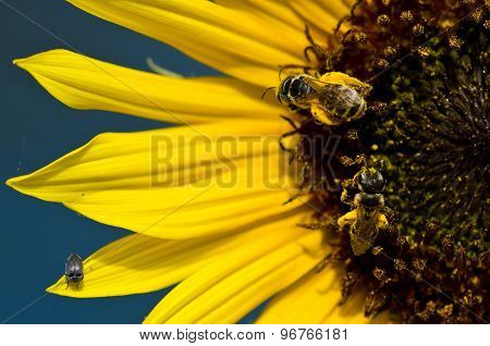 Two Bees And A Bug On The Bright Yellow Sunflower Petals