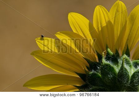 Small Insect Peeking Over The Top Of A Sunflower Petal