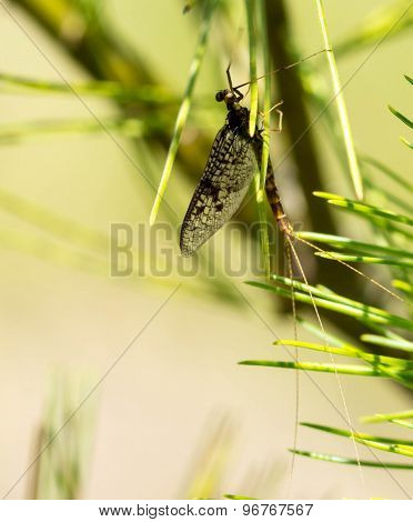 Mayfly on a Pine