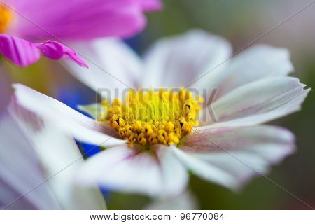 Cosmea, Cosmos flower in bouquet