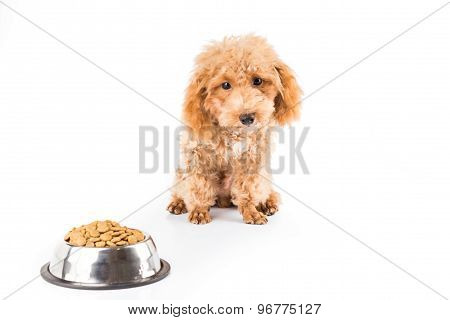 A skinny poodle puppy next to her bowl of dried dog food