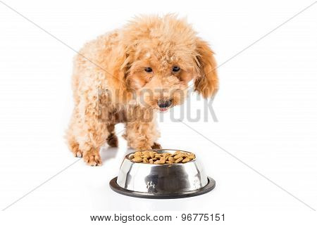 A skinny poodle puppy approaching her bowl of dried pallets