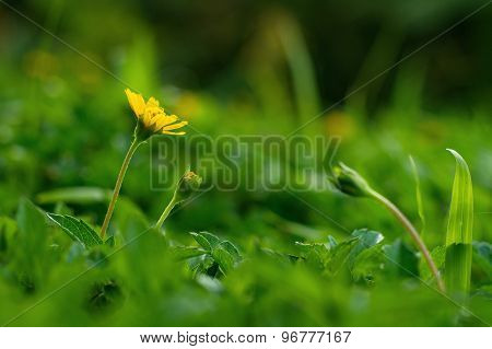 Yellow Climbing Wedelia Flower