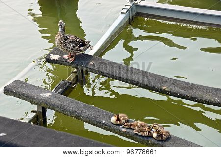 Mallard ducks on boat lift