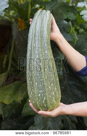 Female hands holding large courgette