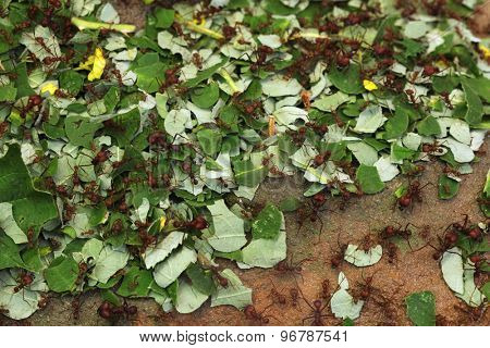Leafcutter ants (Atta sexdens). Wild life animal.