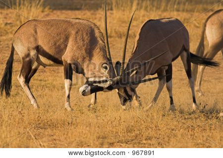 Fighting Gemsbok1