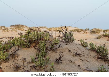 Shrubs In The Desert Of The Red Sea