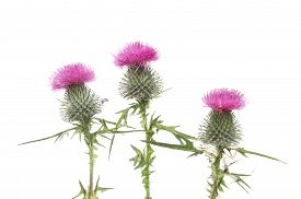 stock photo of scottish thistle  - Three purple thistle flowers isolated against white - JPG