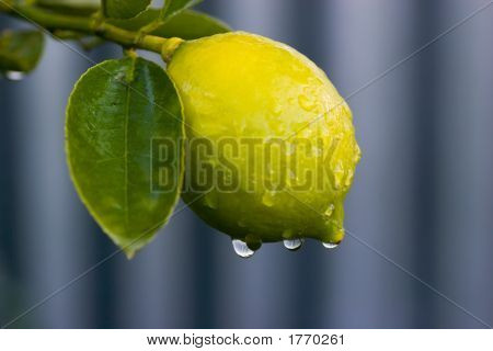 Dew On Lemon 02
