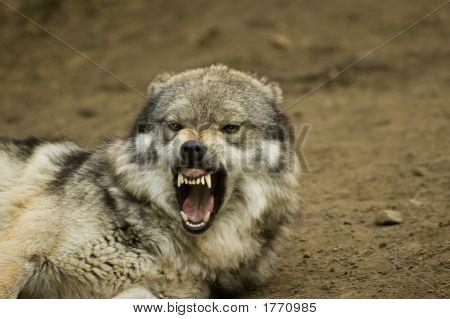 Significa lobo