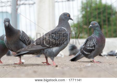Dove-Coloured Pigeon