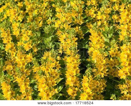 Flowering Loosestrife