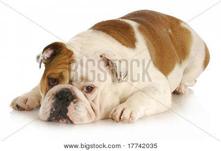 sad dog - english bulldog laying down with sad expression on white background
