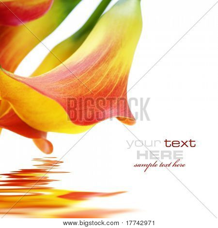 Beautiful calla lilies, isolated on white, with reflection and sample text