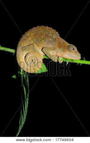 Chameleon in Madagascar, Africa